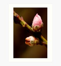 From Blossoms Art Print