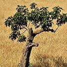The Lone Majorcan Tree by Fara