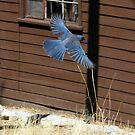"""""""Going Up!"""" Mexican Bluejay by Sherry Pundt"""