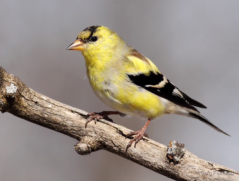 Transition/American Goldfinch by Gary Fairhead