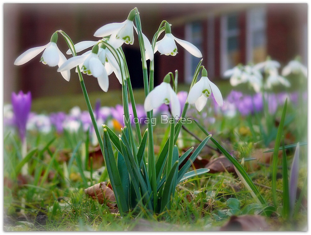 Snowdrops in the Sunshine by Morag Bates