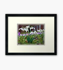 Snowdrops in the Sunshine Framed Print