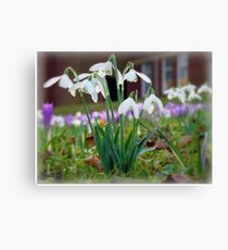 Snowdrops in the Sunshine Canvas Print