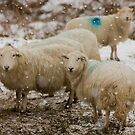 Sheep in snow by Rory Trappe