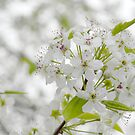 White Spring Blossoms by Colleen Drew