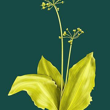 Wild Garlic Plant Botanical Art by azzza
