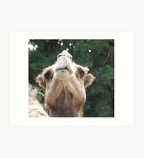 Snobby Camel Art Print