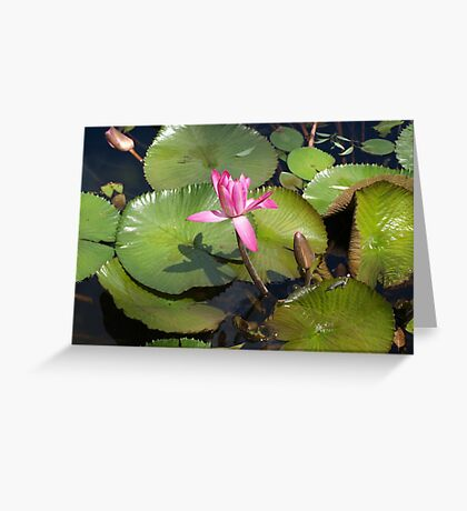 Pink Waterlilies at Mt.Coot-tha Greeting Card