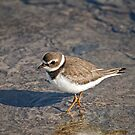 Semipalmated Plover by Tracey  Dryka