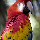 Scarlet Macaw by Sue  Cullumber