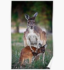 Mother and Joey - Kangaroos of Western Australia Poster