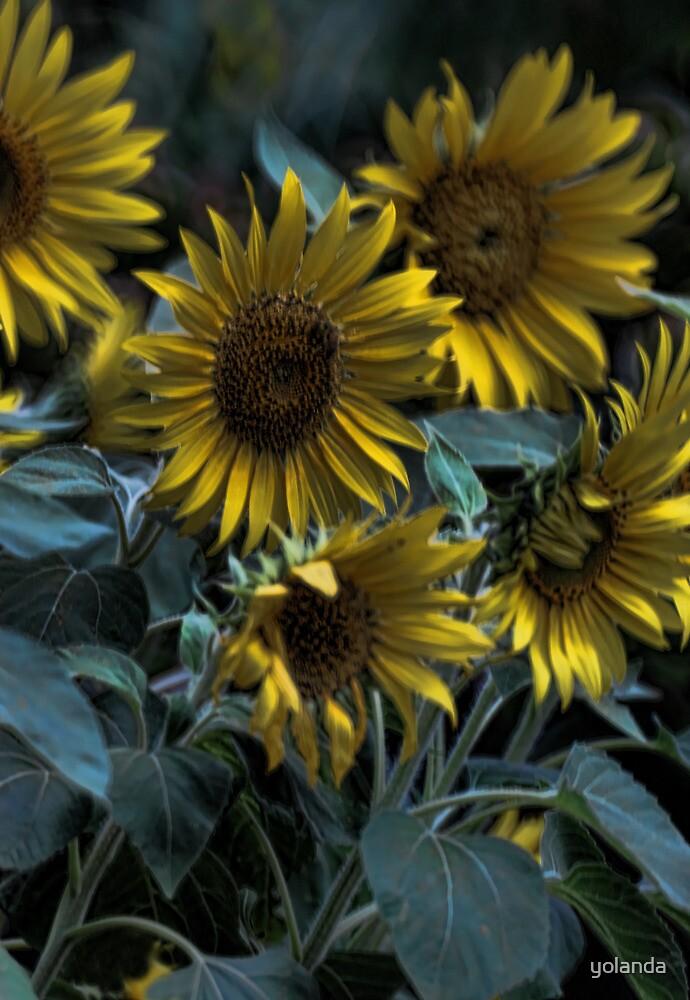 Sunflowers by yolanda
