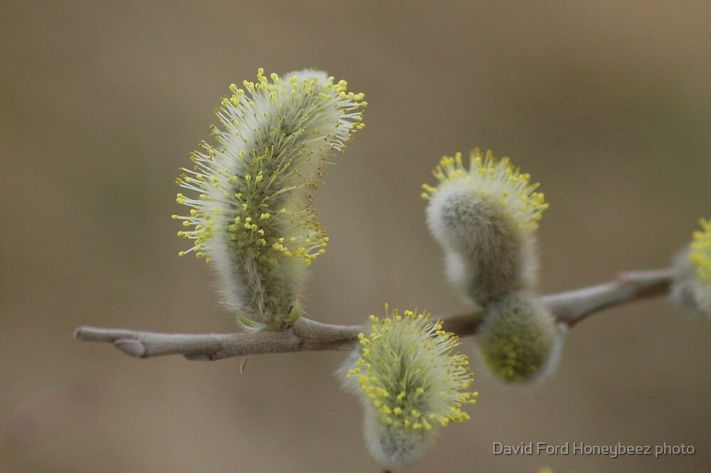 catkins in spring by David Ford Honeybeez photo