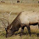 Bull Elk by Betsy  Seeton