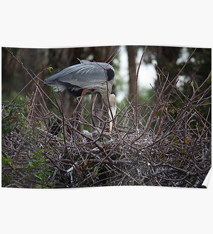Great Blue Heron (Nesting) Poster