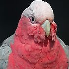 Galah by Anthony Goldman