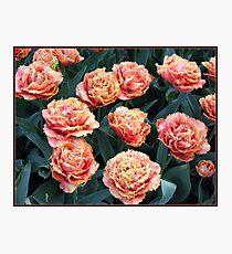 Frilled Tulips - Keukenhof Gardens, Holland Photographic Print
