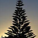 Conifer silhouette by Fineli