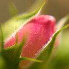 Rosebud by Aileen David
