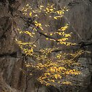 Yellow Autumn Tree against a Gray Cliff Wall by Ryan McGurl