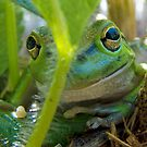 Motorbike frog, Litoria moorei in Strawberry patch,  by JuliaKHarwood