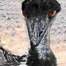 Emu, Dromaius novaehollandiae, in Australia by JuliaKHarwood