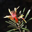 Mountain Devil flower by BronReid
