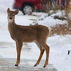 Roosevelt Elk (Cervus canadensis roosevelti) by Laura Puglia