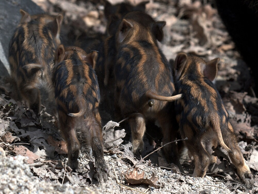wild boar baby behinds by Brock Hunter
