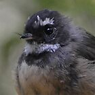 Baby face-(fantail) by lizdomett