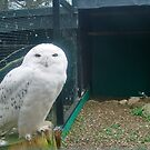 Here's Looking at you babes........(Snowy Owl poem attached) by marieangel