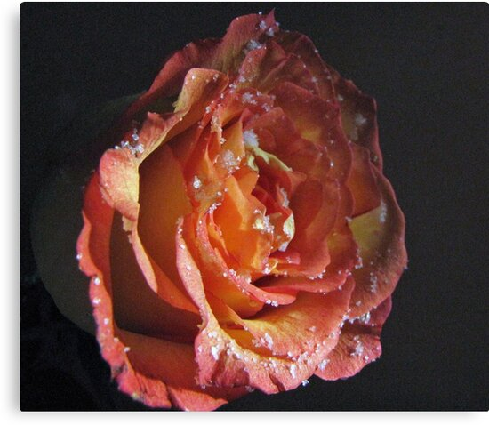 Sugared Rose by Diane Arndt
