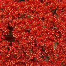 Red Succulent - Magpie Springs Adelaide hills South Australia by MagpieSprings