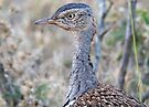 Red Crested Korhaan Close Up by Michael  Moss