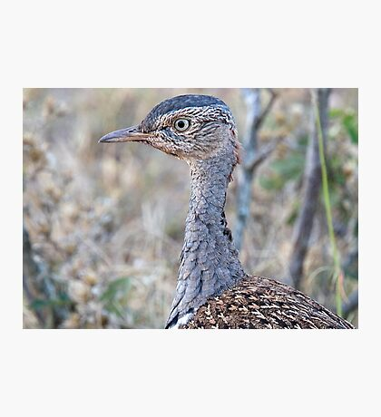 Red Crested Korhaan Close Up Photographic Print