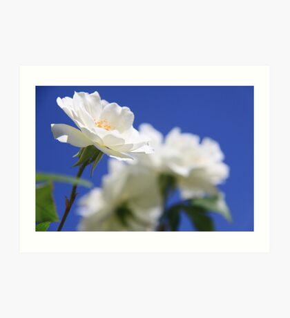 So white the rose Art Print