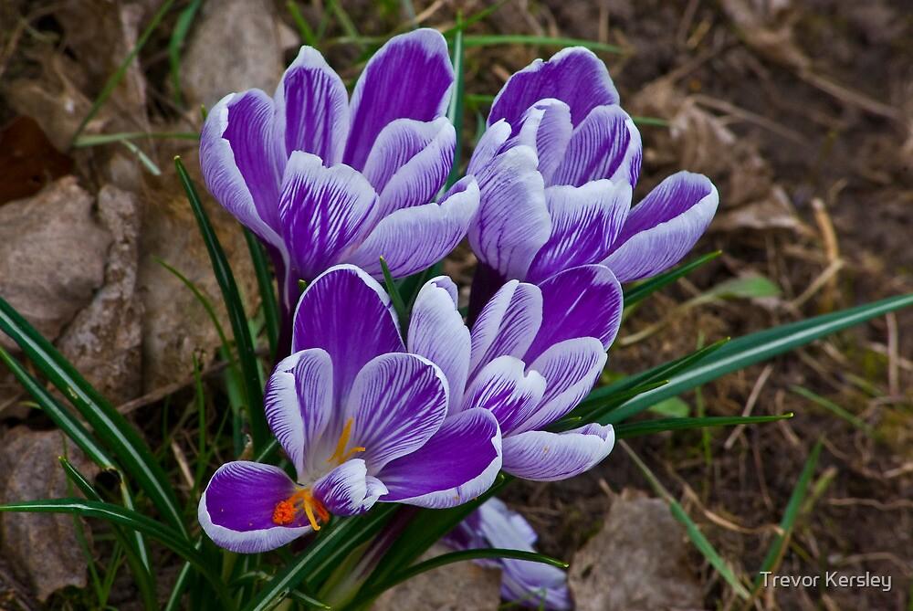 Just Purple (Spring) by Trevor Kersley