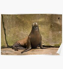 Californian sea lion Poster