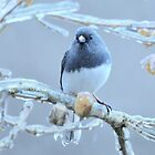 Junco  ~ after the ice storm by Laurie Minor