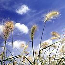 Image of feathery grasses against a blue summer sky by John Gaffen