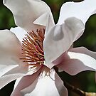 Heart of a Magnolia by aussiedi