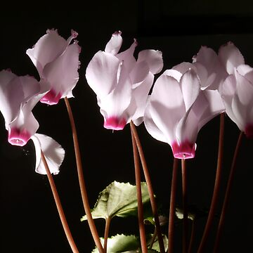 Cyclamen flowers - pink and white by shafryle