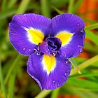 An Iris Unfolding by Penny Smith