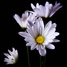 Daisy's after a spring rain by Jeffrey  Sinnock
