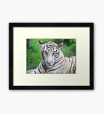The Royal Look of a White Tiger Framed Print