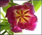 Tulip by © Pauline Wherrell