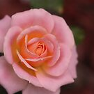 In the pink by Coloursofnature