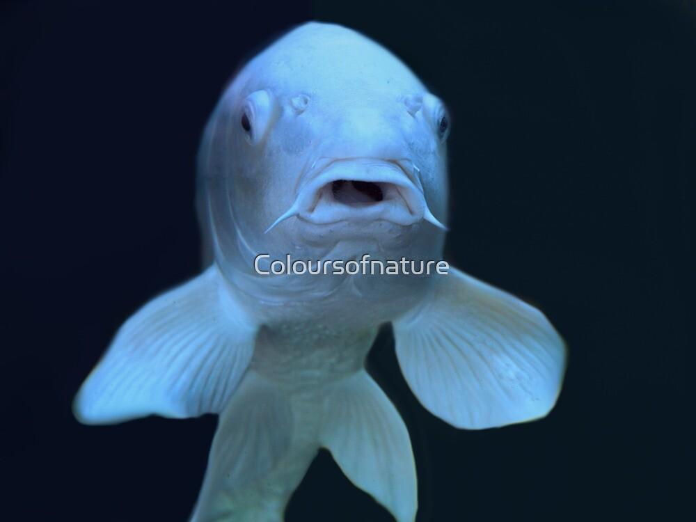 Australian White Koi Carp by Coloursofnature