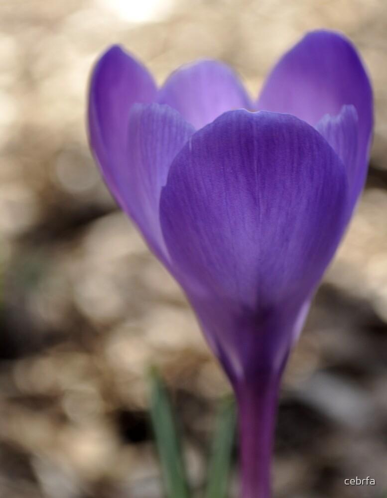 Spring Beauty by cebrfa