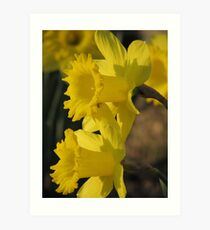 Sunset On The Daffodils Art Print